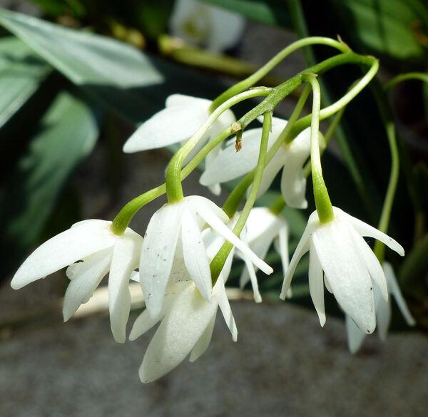 Dendrobium x delicatum hort.