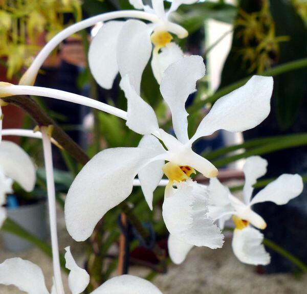 Holcoglossum subulifolium (Rchb.f.) Christenson