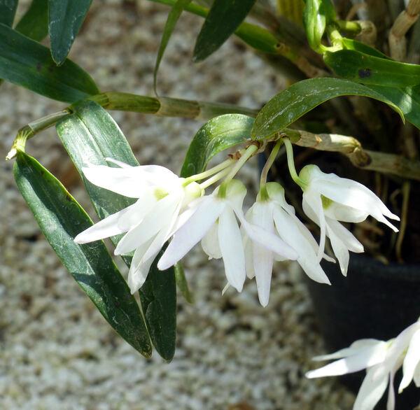 Dendrobium moniliforme (L.) Sw. 'Variegatum'