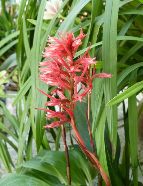 Stenorrhynchos speciosum (Jacq.) Rich.