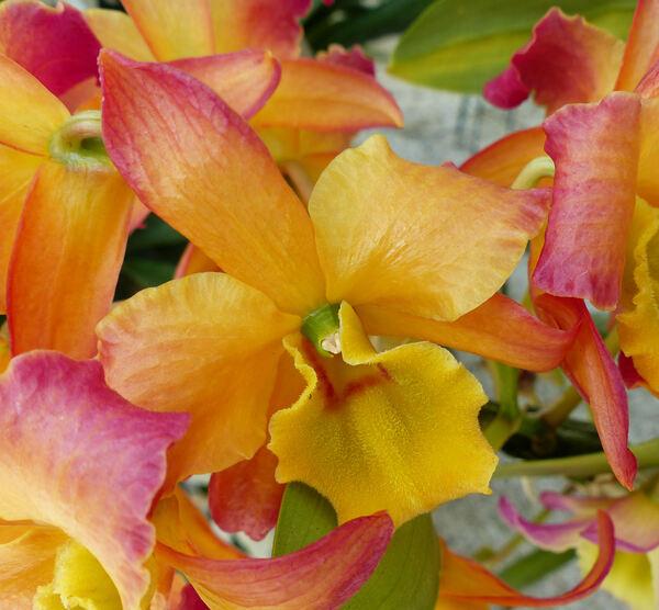 Dendrobium nobile Lindl. 'Oriental Smile'