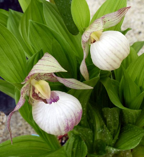 Cypripedium kentuckiense C.F.Reed