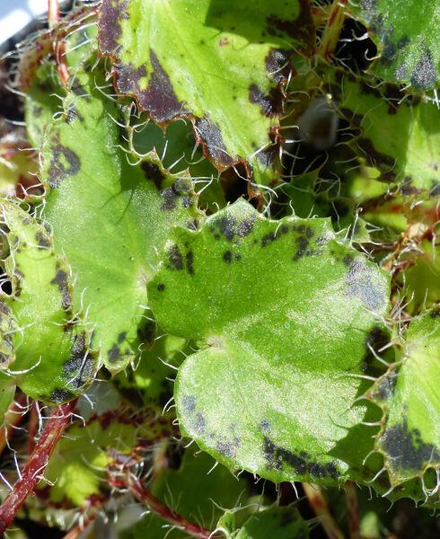 Begonia bowerae Ziesenh.