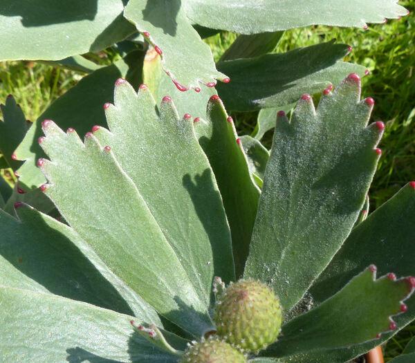 Leucospermum 'Ayoba'