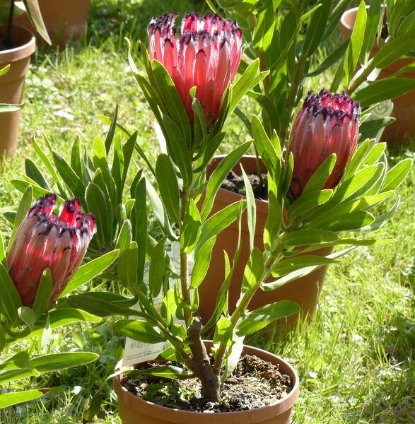 Protea 'Tasman Ruby'