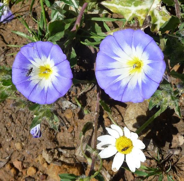 Convolvulus tricolor L. subsp. meonanthus (Hoffmanns. & Link) Arcang.