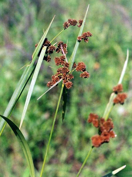 Scirpus atrovirens Willd. subsp. atrovirens