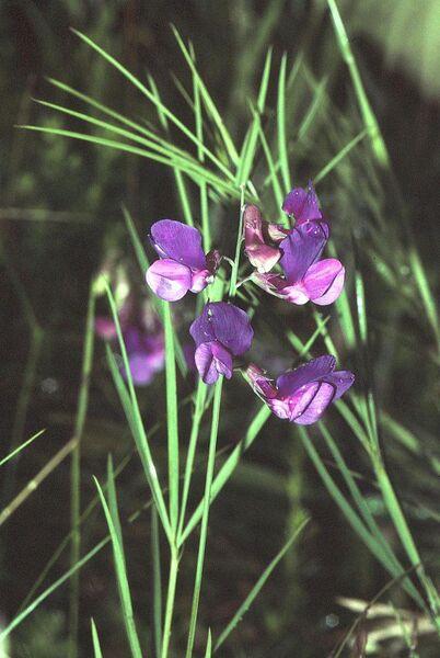 Lathyrus bauhinii Genty