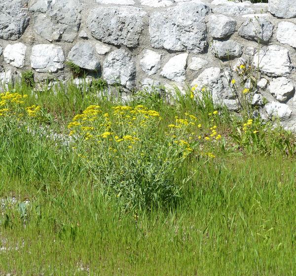 Aurinia petraea (Ard.) Schur