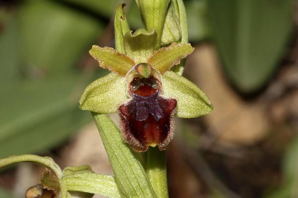 Ophrys massiliensis Viglione & Véla