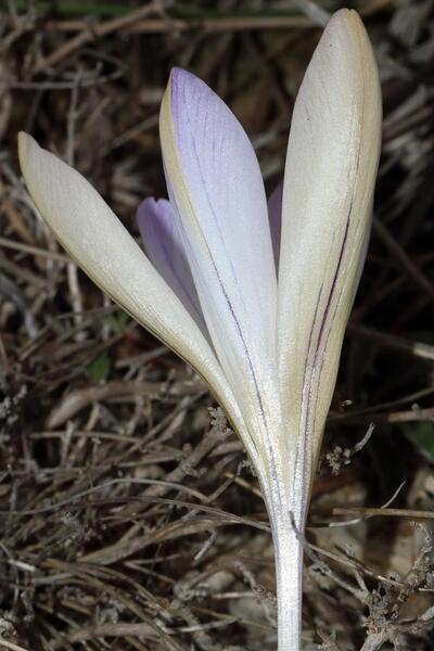 Crocus versicolor Ker Gawl.