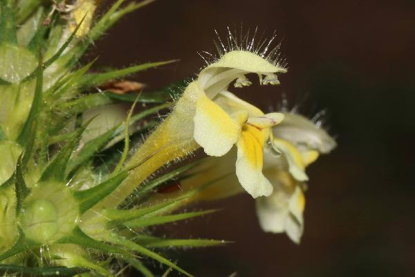 Galeopsis sulphurea Jord.