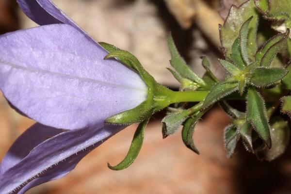 Campanula isophylla Moretti