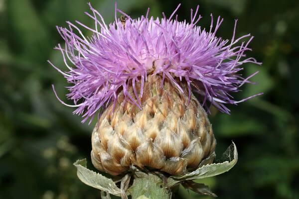 Rhaponticum bicknellii (Briq.) Banfi, Galasso & Soldano