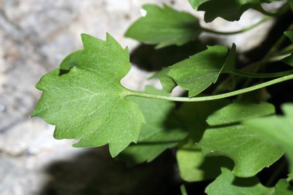 Campanula macrorhiza J.Gay ex A.DC.