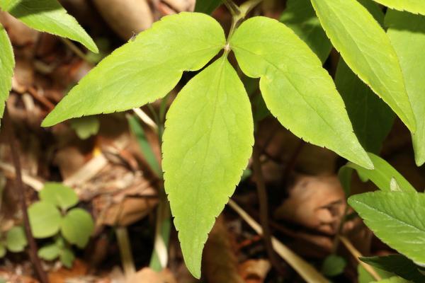 Anemonoides trifolia (L.) Holub subsp. brevidentata (Ubaldi & Puppi) Galasso, Banfi & Soldano