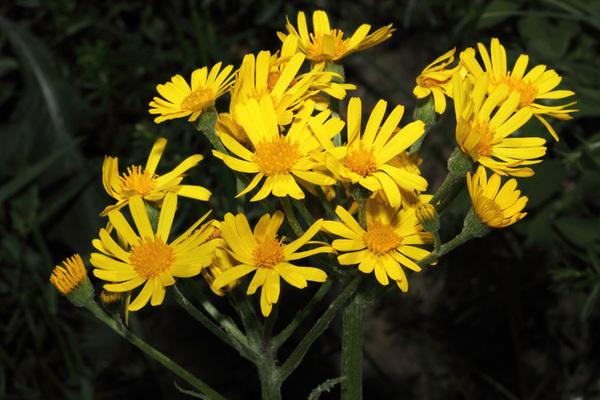 Tephroseris balbisiana (DC.) Holub