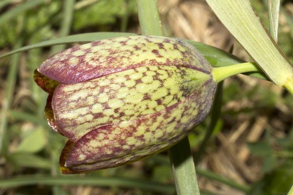 Fritillaria involucrata All.