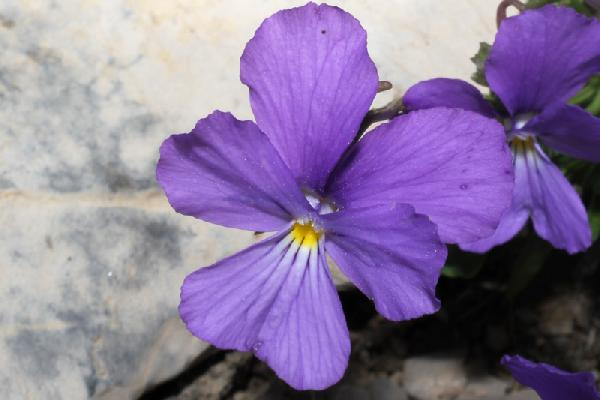 Viola calcarata L. subsp. villarsiana (Roem. & Schult.) Merxm.