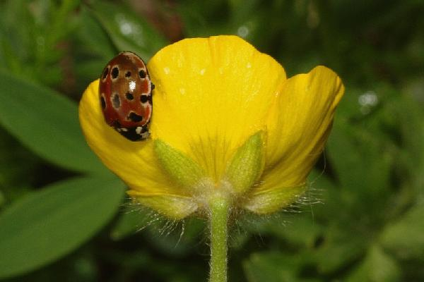 Ranunculus aduncus Gren. & Godr.