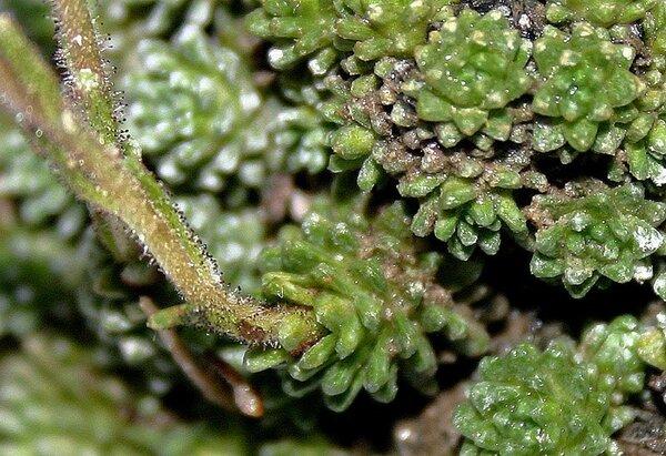 Saxifraga diapensioides Bellardi