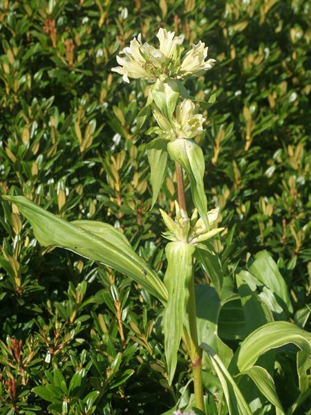 Gentiana burseri Lapeyr. subsp. villarsii (Griseb.) Rouy
