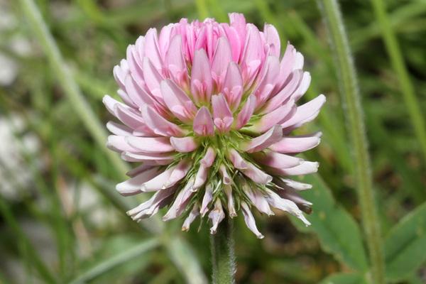 Trifolium montanum L. subsp. rupestre (Ten.) Nyman