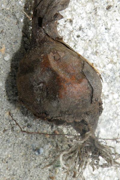 Colchicum longifolium Castagne