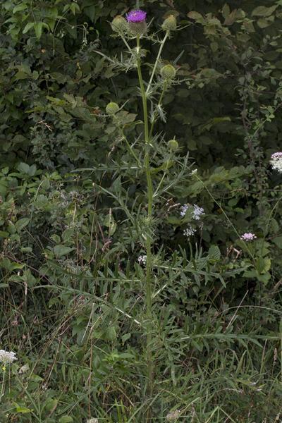 Cirsium eriophorum (L.) Scop. subsp. spathulatum (Moretti) Ces.