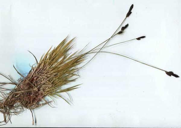 Carex montana L.