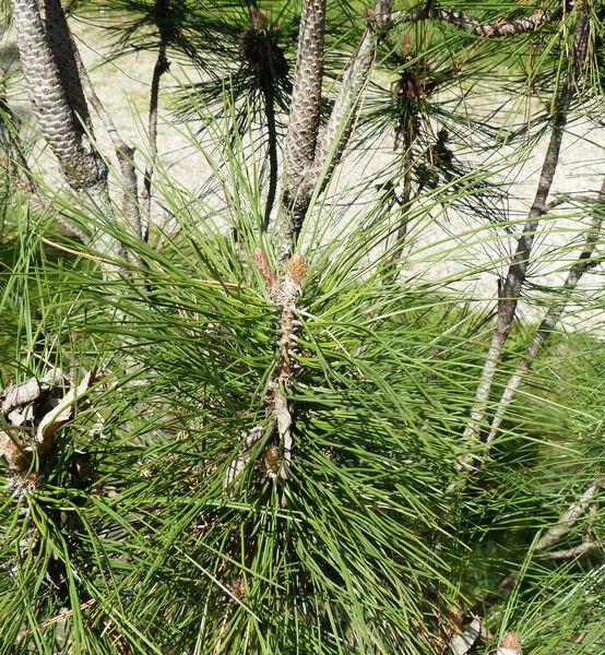 Pinus nigra J.F.Arnold 'Pyramidalis'