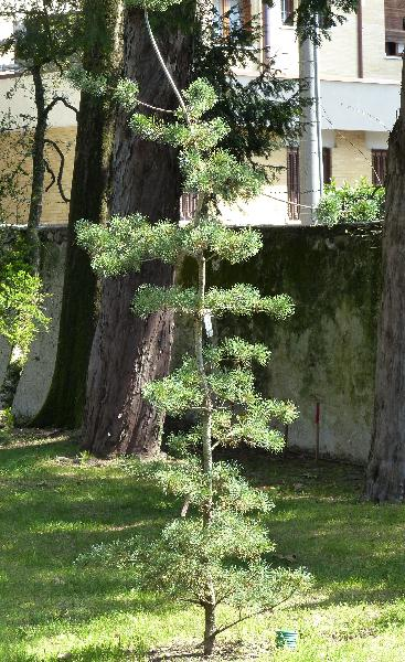 Pinus parviflora Siebold & Zucc. 'Brevifolia'