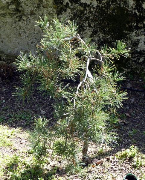 Pinus strobus L. 'Pendula'