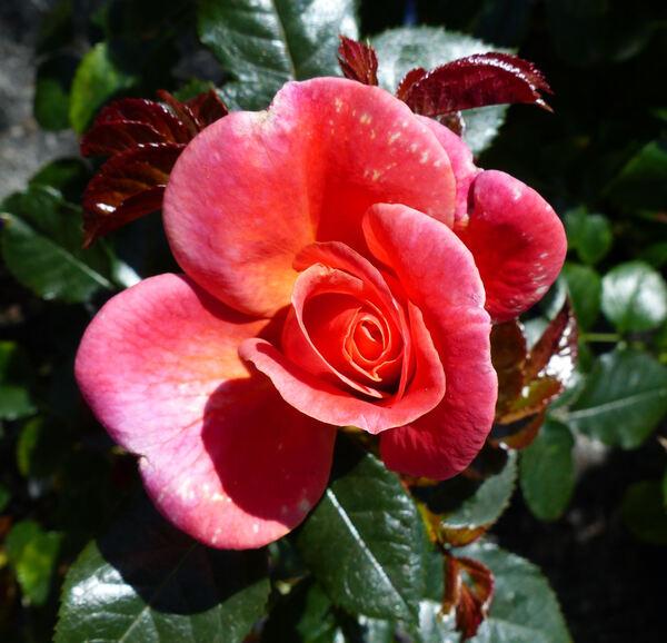 Rosa 'Melusina ®'
