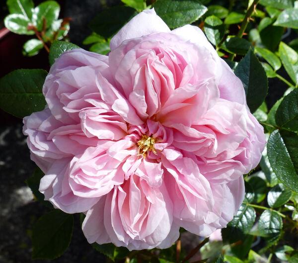 Rosa 'Schöne Maid ®'