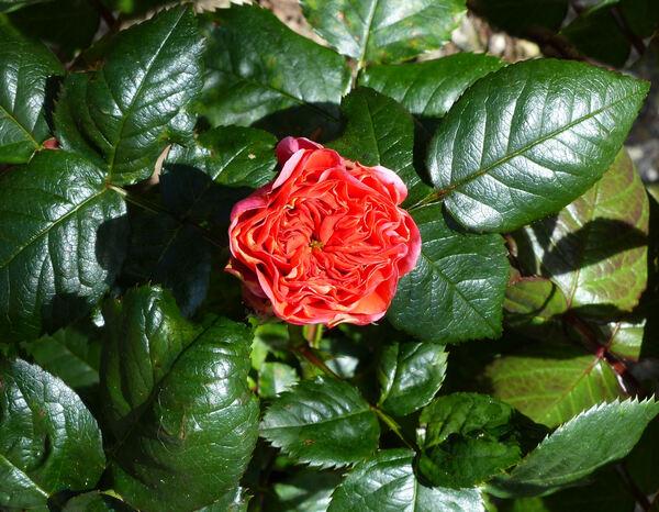 Rosa 'Mary Ann ®'