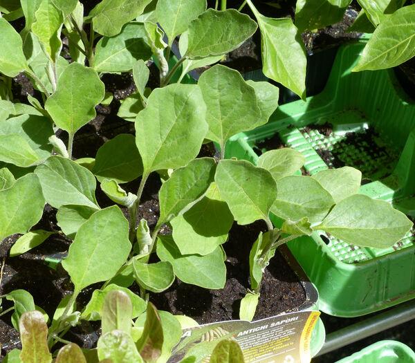 Solanum melongena L. 'Lunga'