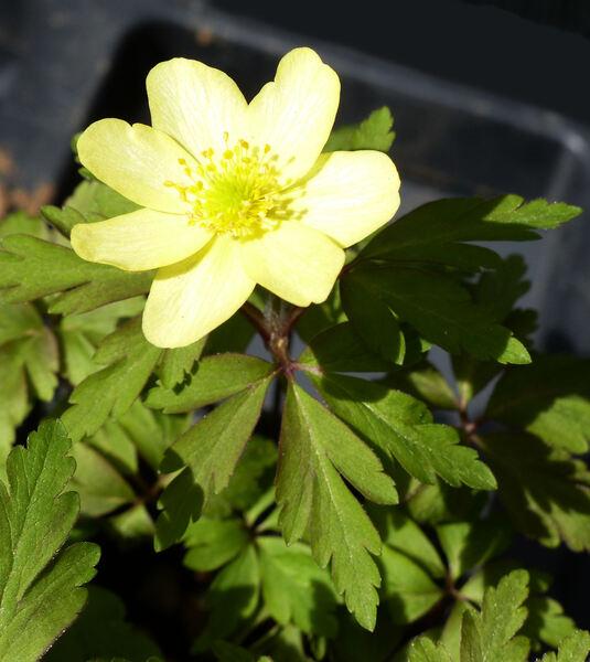 Anemonoides x seemenii (Camus) Holub 'Vindobonensis'