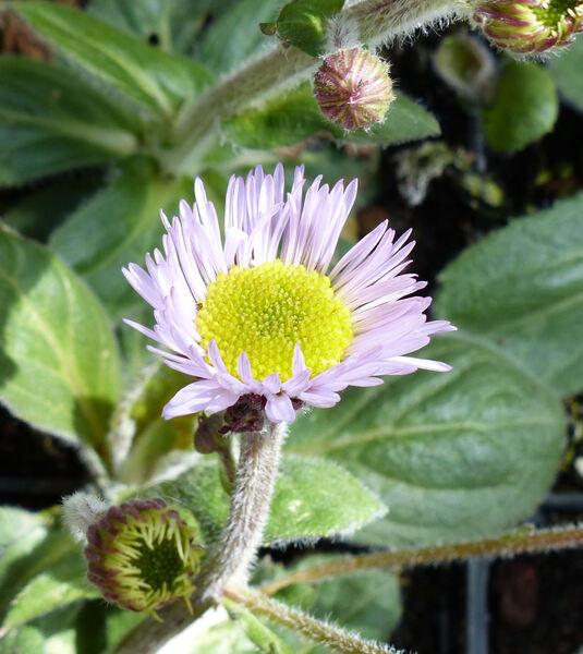 Erigeron pulchellus Michx. 'Meadow Muffin'