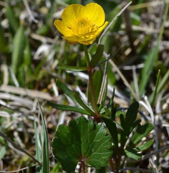 Ranunculus marsicus Guss. & Ten.