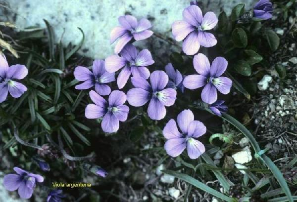 Viola argenteria Moraldo & Forneris