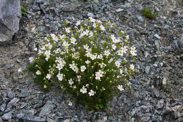 Cherleria laricifolia (L.) Iamonico subsp. ophiolitica (Pignatti) Iamonico