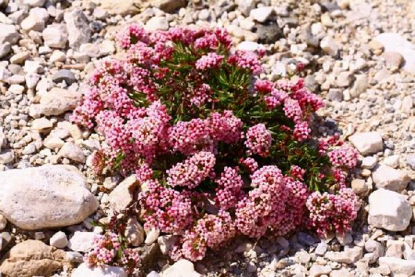 Asperula cynanchica L. subsp. neglecta (Guss.) Arcang.
