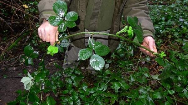 Rubus arrigonii Camarda