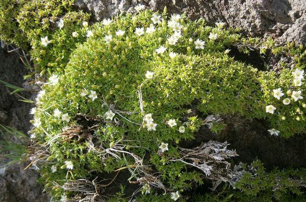 Cherleria biflora (L.) A.J.Moore & Dillenb.