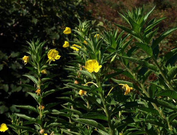 Oenothera chicaginensis de Vries ex Renner & Cleland