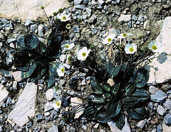 Ranunculus parnassifolius L. subsp. heterocarpus P.Küpfer