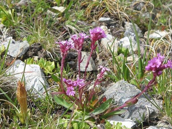 Viscaria alpina (L.) G.Don