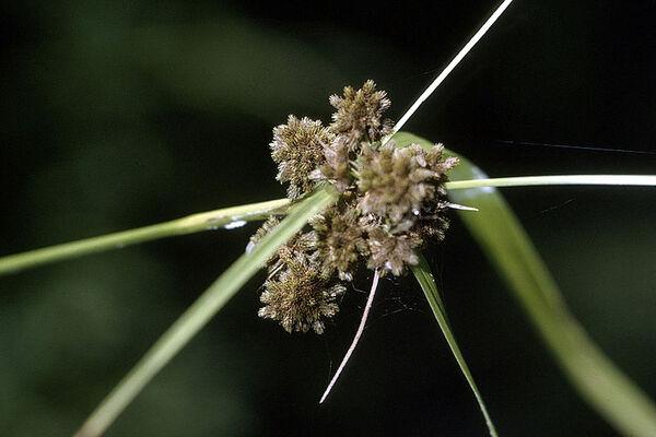 Scirpus atrovirens Willd. subsp. georgianus (R.M.Harper) Verloove & Lambinon