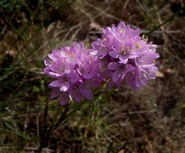 Armeria denticulata (Bertol.) DC.